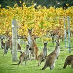 margaret-river-vineyard